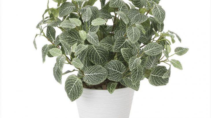 葉脈が特徴的な植物フィットニア
