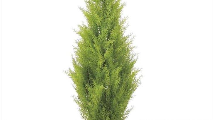 お祝いやギフトにも◎「ゴールドクレスト 1.3m」 光触媒 人工植物/フェイクグリーン